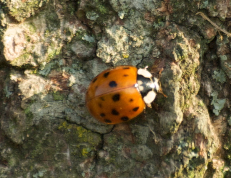 lady-bug, P. DauBach