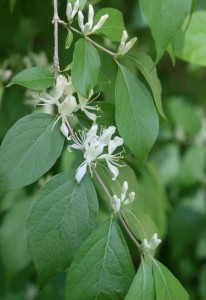 honeysuckle flowers, C. Evans