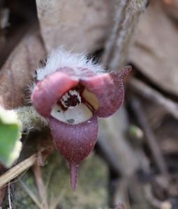 pawpaw flower, P. Feldker