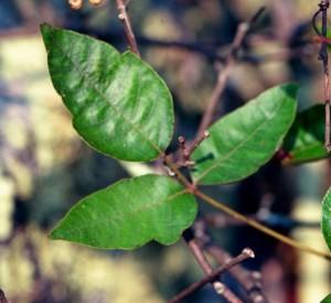 poison ivy leaf, J. Miller