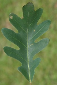 white oak leaf, C. Evans