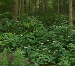 wild hydrangea in woods, D. FitzWilliam