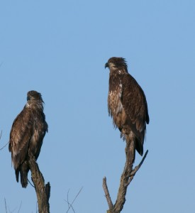 Immature bald eagles, T. Rollins