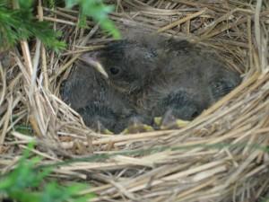 Nestlings, T. McElhattan