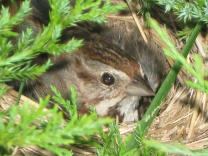 song sparrow, T. McElhattan