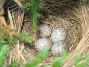 nest, T. McElhattan