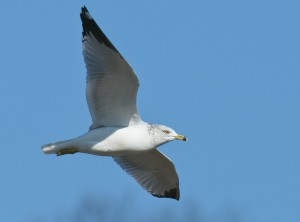 ring-billed gull. T. Rollins