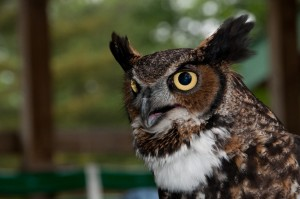 Great-horned owl 2, T. Rollins