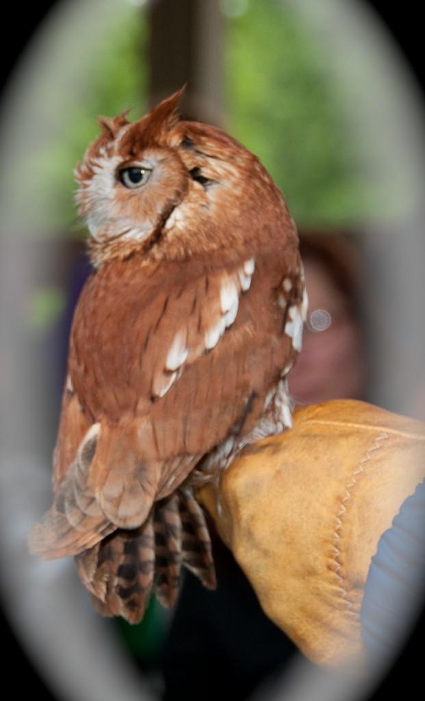 E. Screech-Owl