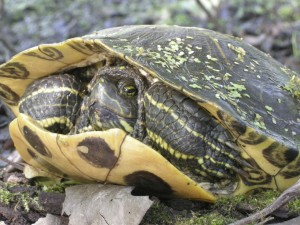 Red-eared slider, T. Rollins