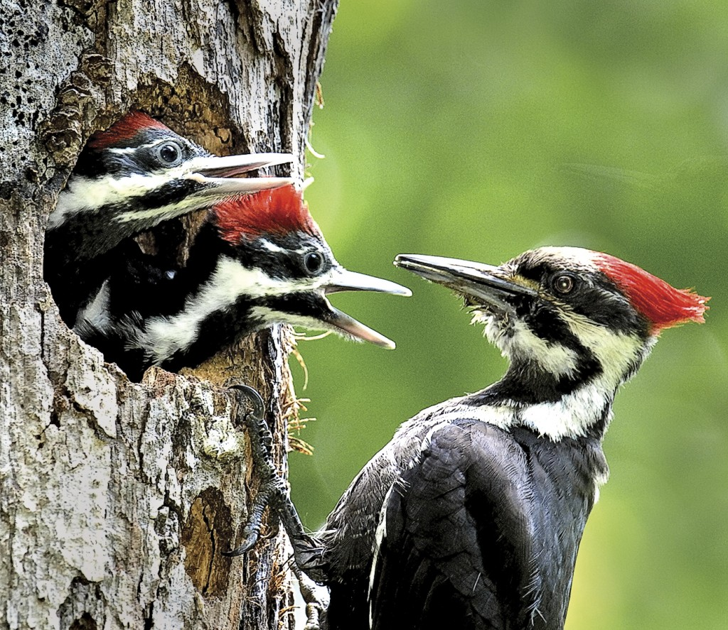 Pileated with chicks, T. Rollins