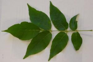 ash tree leaf, Michigan Dept. of Ag. photo