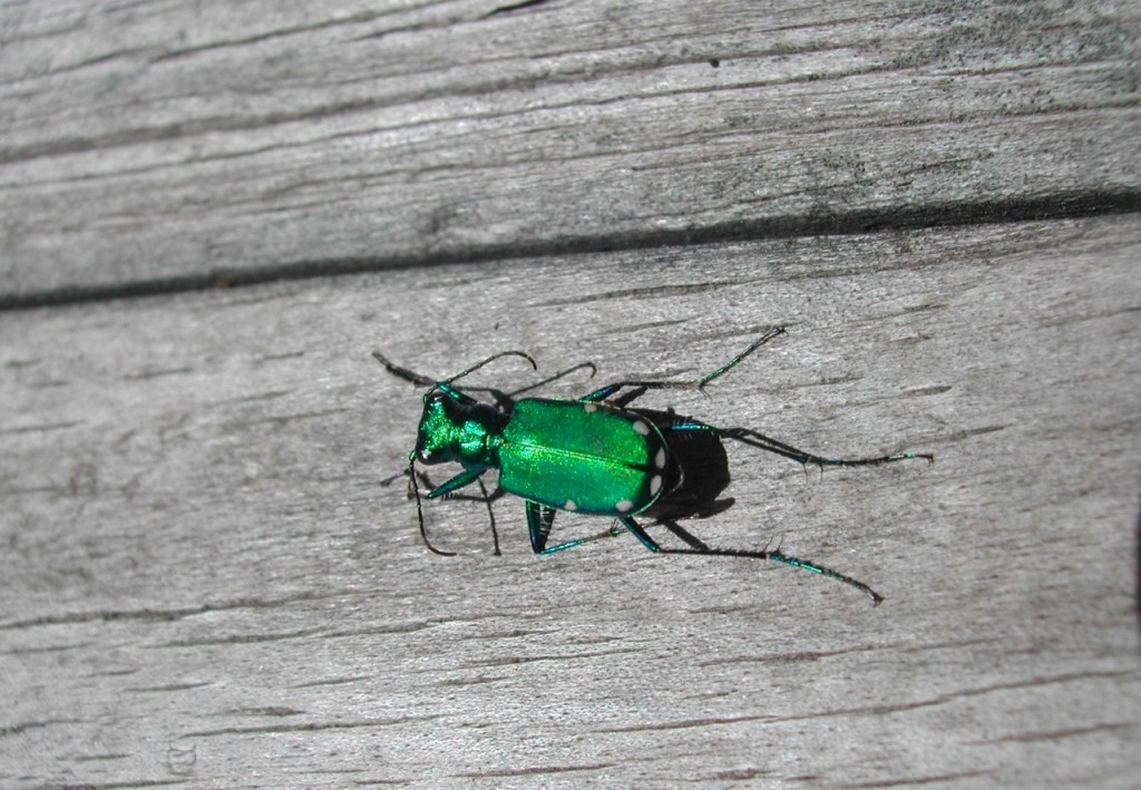 six-spotted green tiger beetle, PA Dept. Conserv.
