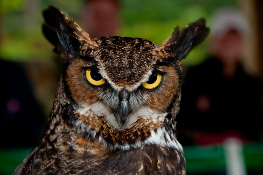 great-horned owl, T. Rollins photo