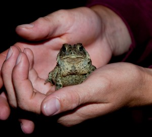 American toad, T. Rollins